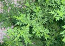 Это удивительное растение способно убить до 98% раковых клеток уже в течение 16 часов!