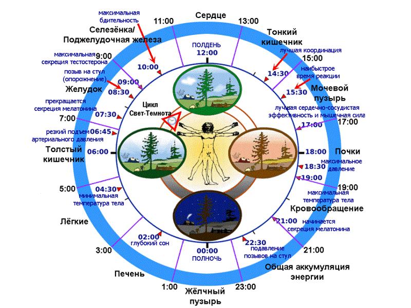 Распорядок дня организма: активность органов по часам