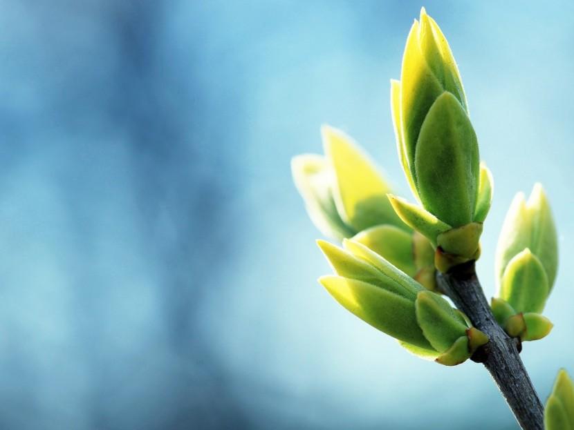 Удивительная сила весенних почек для укрепления вашего здоровья