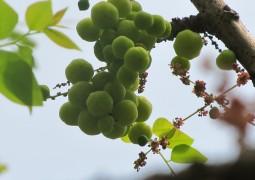 Индийский крыжовник - самый мощный плод, наполненный антиоксидантами