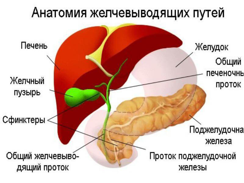 Желчный пузырь – «министр» органов брюшной полости. Старославянский массаж живота Огулова