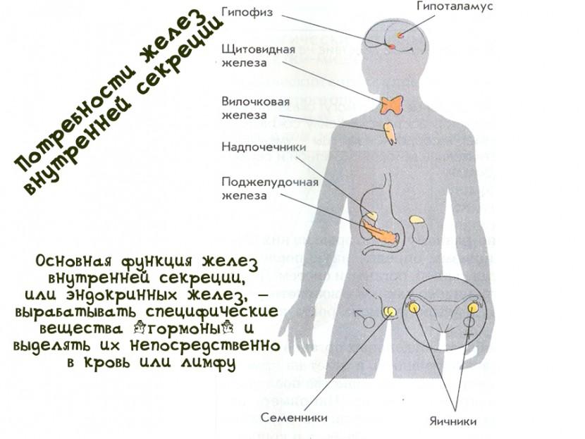 Потребности желез внутренней секреции