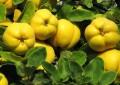 Растения, используемые при состоянии повышенной активности систем регуляции  (жар ветра, желчи, жар слизи)