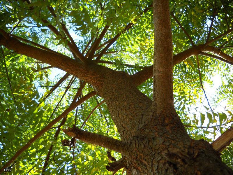 Ним – священное дерево в Аюрведе – выводит токсины и очищает кровь