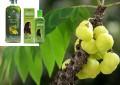 Целебное дерево Амла (индийский крыжовник)