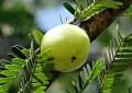 Амалаки - растение чемпион по содержанию витамина С