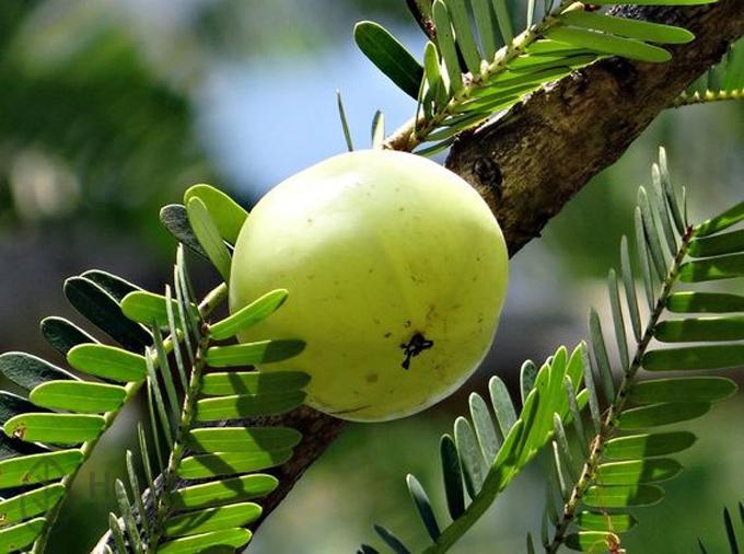 Амалаки — растение чемпион по содержанию витамина С